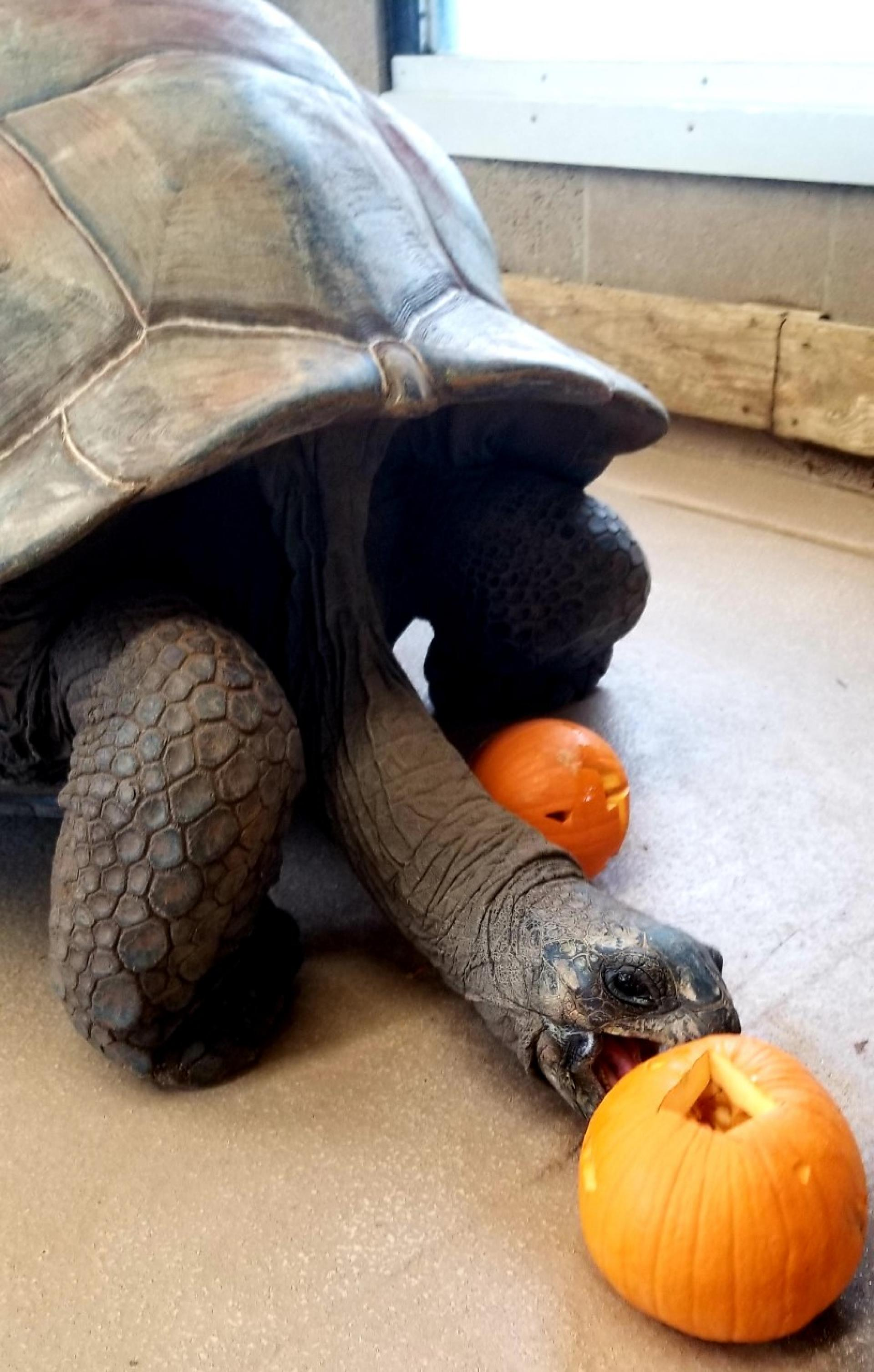 A giant tortoise at the Tulsa Zoo, workplace of North Central College graduate and veteran Eddie Exconde.